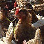 Bremsdefekt löst Feuer auf Hühnertransporter aus