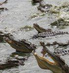 Thailand: Selbstmord im Krokodilbecken