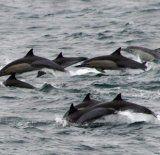 14 Delfin-Jagd-Aktivisten auf Färöer festgenommen