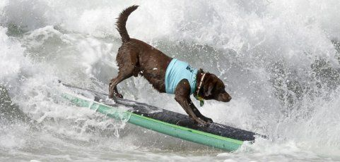 """Hundesurfen"" in Los Angeles"