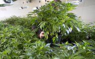Marihuana angebaut und um 60.000 Euro verkauft