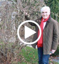 Korkenzieherhasel: So schneiden Sie Wildtriebe