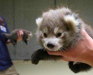 Sorge um zwei Rote- Panda-Babys in Salzburg