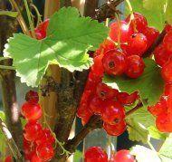Die Vitaminbombe im eigenen Garten