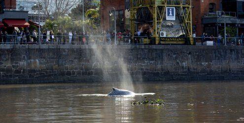 Verirrter kleiner Wal schwimmt in Jachthafen von Buenos Aires