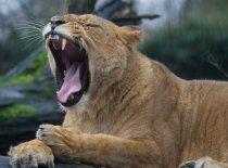 Simbabwe: Löwe beisst Safari-Guide zu Tode