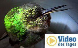So schnarcht ein Kolibri