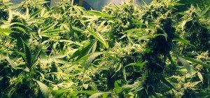 Neumarkt: 37-Jähriger betreibt Cannabiszucht im Keller seines Hauses