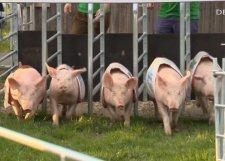 Die Schweine sind los