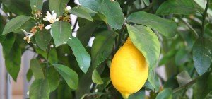 Die Zitrusfrüchte im VOL.AT-Gartentipp