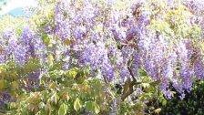 Die VOL.AT-Gartentipp - Glyzinie oder Blauregen