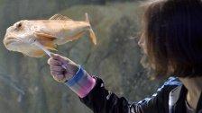 """USA: Augenprothese für gemobbten Fisch """"Kiwi"""""""