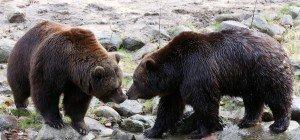 Serie tödlicher Bären-Angriffe in Japan
