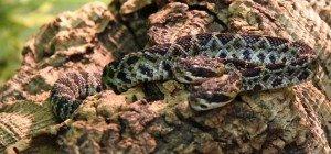 Die Hydra von Scheidegg: Seltene Klapperschlange mit zwei Köpfen geboren