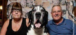 Der Alltag mit dem größten Hund der Welt