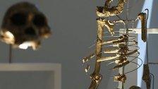 Studie: Vormensch Lucy fiel vom Baum und starb