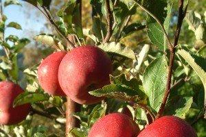 Obstbauern leiden unter nassem Sommer