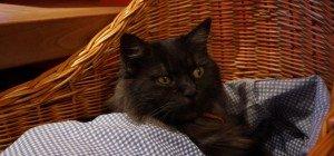 Katze Flocke in Bludesch vermisst!