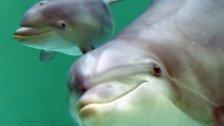 Wie Menschen: Delfine sprechen in Sätzen