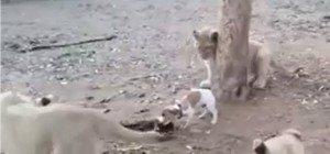 Drei Löwen gegen einen Hund: Wer gewinnt?