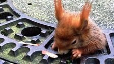 Dickes Eichhörnchen steckte in Kanaldeckel