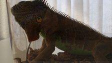 Artgeschützter Leguan in Koffer geschmuggelt