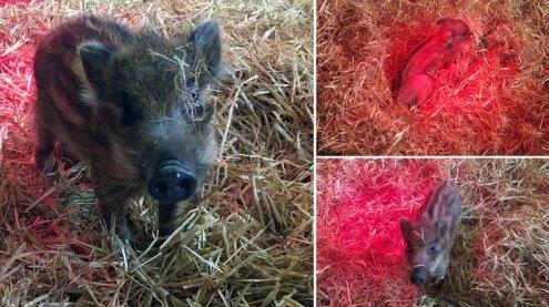 Gerettet: Frischlingsmädchen Borsti hatte ordentlich Schwein