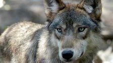 Sensation: Wolf amBodensee gesichtet