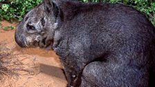 Süßer Nachwuchs für gefährdete Spezies