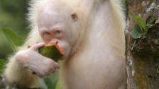 Albino-Orang-Utan bekommt künstliche Insel