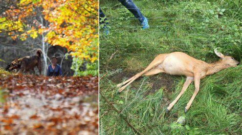 Reh von Hunden attackiert und grausam in den Tod gehetzt?