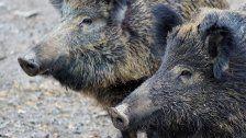Aggressive Wildschweine verletzten vier Menschen